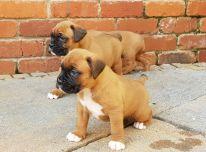 Parduodami grynaveisliai bokserio šuniukai.