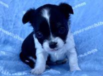 Čihuahua šuniukai ir patinai, skirti naminių gyvūnėlių mylėtojams.