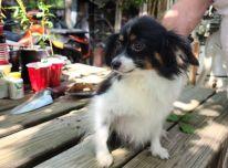 Registruoti Papillion šuniukai įvaikinimui