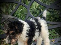 Kokybiški šeimos Rasied Fox Terrier šuniukai