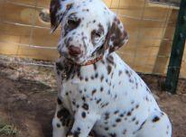 Neįkainojami kilmės Dalmatijos šuniukai pasiruošę įvaikinti!