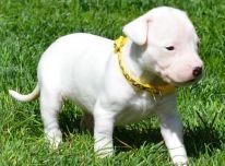 Gražūs Argentinos šunų patinai ir patelės