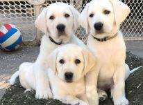 Nuostabūs labradoro šuniukai