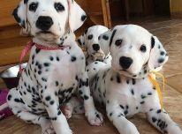 Nuostabūs Kc Dalmatijos šuniukai