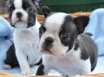 Gražūs Bostono terjero šuniukai