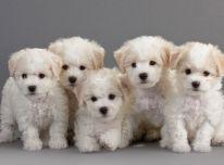 Bichon Frise šuniukai