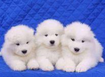 Gražūs sameded šuniukai