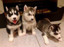 Šešėliai ir šešėliai Sibiro haskių šuniukai