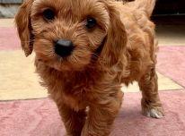 Sveikatos patikrinti Cavapoo šuniukai PARUOŠTI DABAR !!