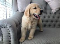 Aukso retriverio šuniukai