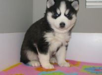 Sibiro haskių šuniukas
