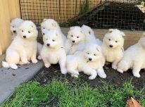 Gražūs samojedų šuniukai