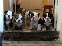 Gražūs britų buldogų šuniukai