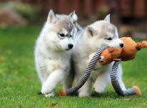 Tienisté a tienisté šteniatka sibírskeho huskyho
