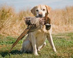 Medžiokliniai šunys - veislių užduotys