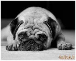 Dekoratyviniai šunys - jų užduotys