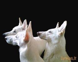Šunų veislių grupės - FCI